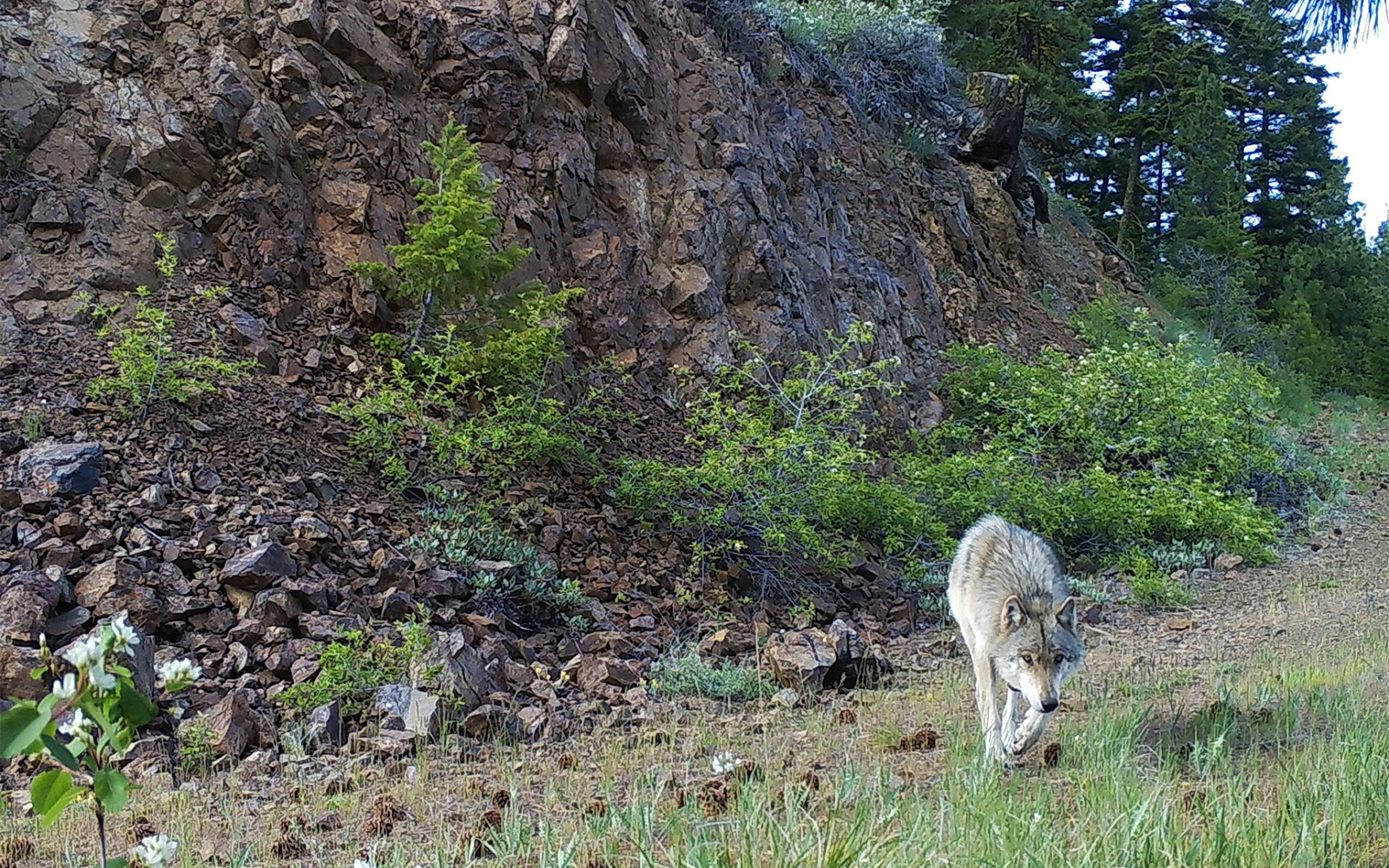 Victory for Washington Wolves, Governor Inslee Grants Petition for Enforceable Protections!