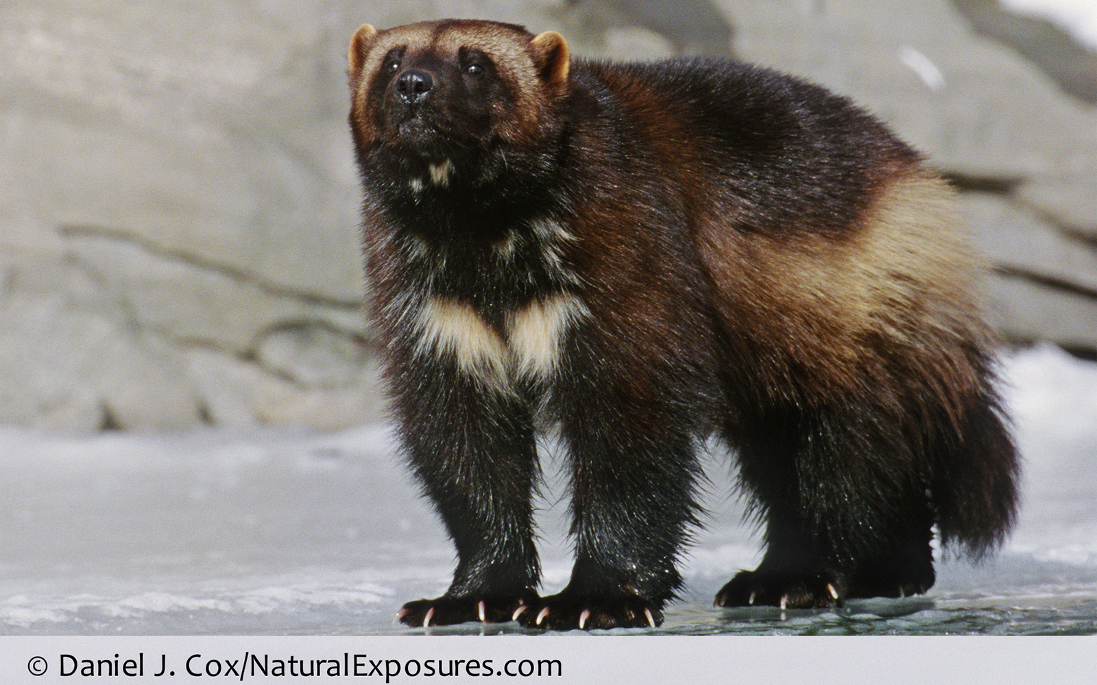 Lawsuit Filed to Protect Imperiled Wolverine