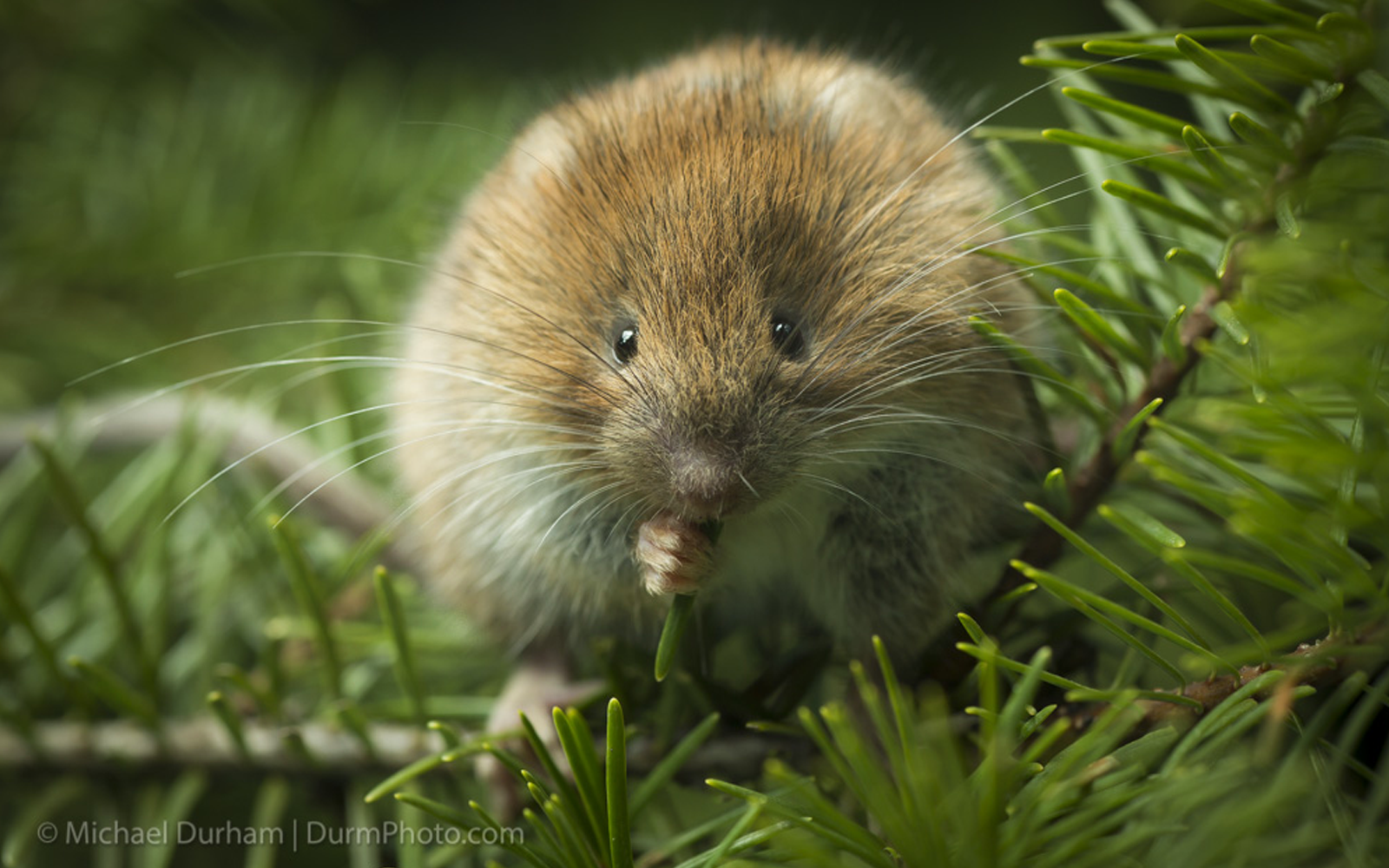 Lawsuit Filed to Protect Red Tree Vole