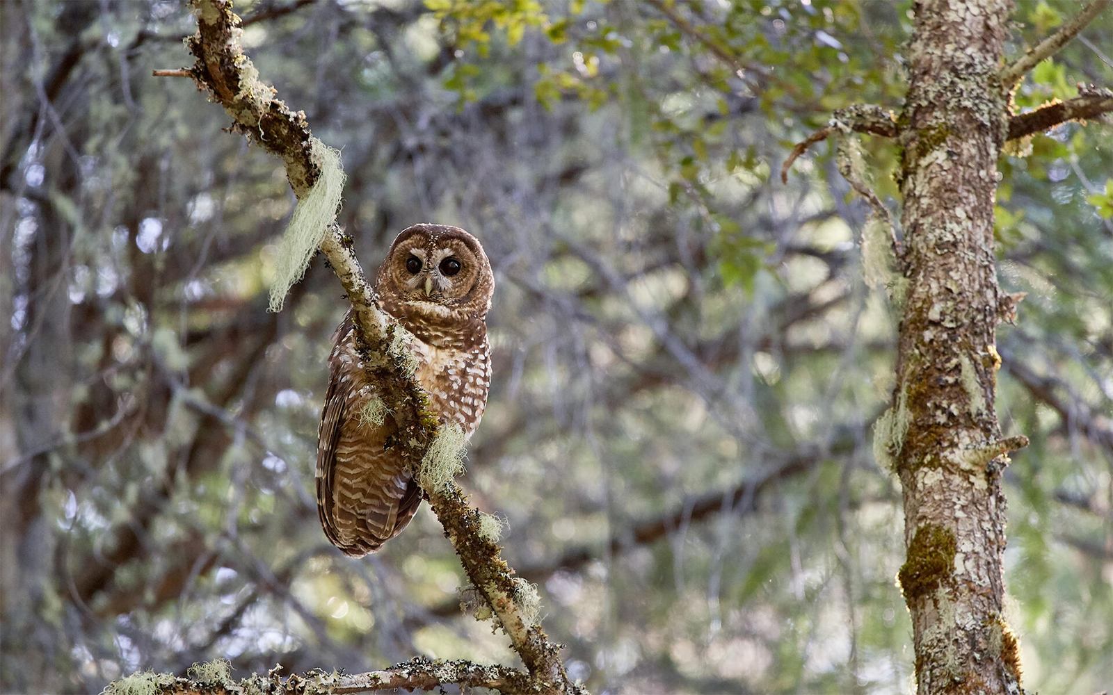 Lawsuit Filed Challenging Removal of 3.4 Million Acres of Critical Spotted Owl Habitat