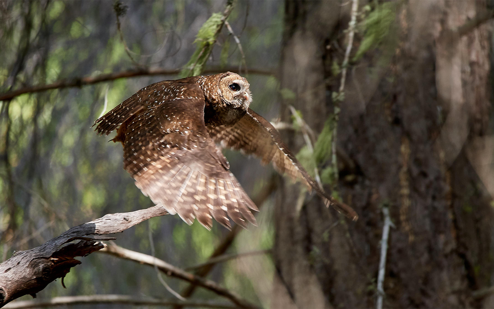 Comments Needed Today: Tell U.S. Fish and Wildlife Service to Keep Critical Spotted Owl Habitat Protected