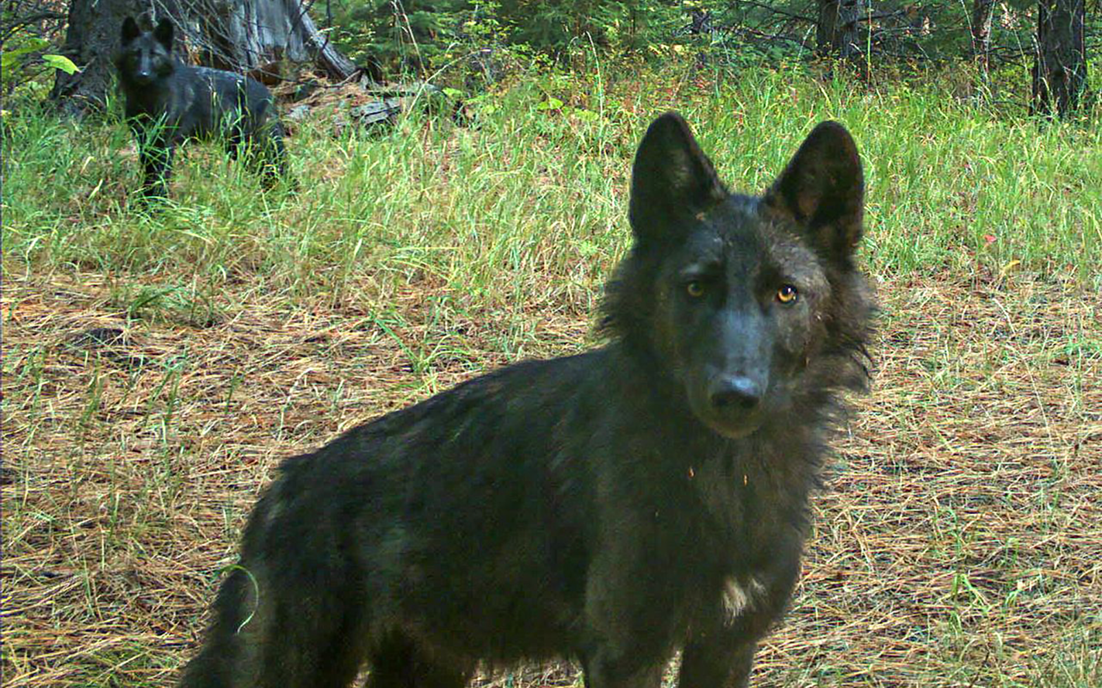 Wolf population in Oregon grows by nearly 10%, but illegal killings worry advocates