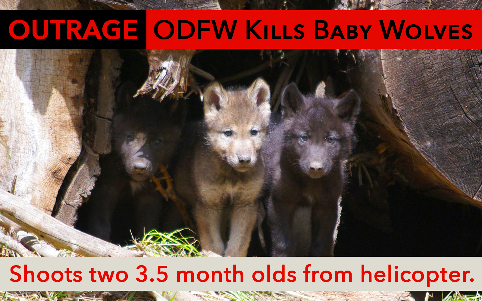 Press Release: ODFW Uses Tax Dollars to Kill 3.5 Month Old Wolf Pups